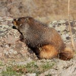 This marmot visited my campsite near San Luis Pass.